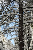 Winter tree. Winter in the forest in the mountains Stock Image