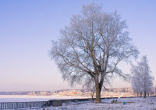 Winter tree. Spreading beautiful tree in winter time Royalty Free Stock Image