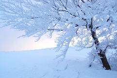 Free Winter Tree Royalty Free Stock Photos - 7831848