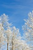 Winter tree against a blue sky. Deciduous tree with frost against a blue sky Stock Photos