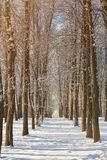 Winter tree alley. On sunny day. Winter season background royalty free stock images