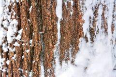 Winter Tree Bark Texture Royalty Free Stock Photo