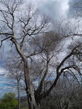 Winter tree beauty. A tree in winter  against a special sky Royalty Free Stock Images