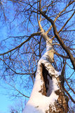 Winter tree and blue sky Royalty Free Stock Photo