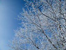 Winter tree with blue sky Royalty Free Stock Image