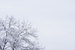 Winter tree. Tree branch covered with Snow Royalty Free Stock Photos