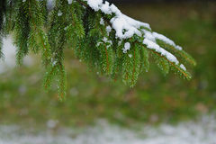 Winter tree branch covered with snow. Royalty Free Stock Images