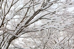 Winter tree branch Royalty Free Stock Photo