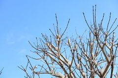 Winter tree branch under snow on blue sky Royalty Free Stock Image