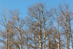 Free Winter Tree Branches Stock Photography - 4864762