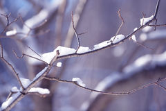 Winter tree branches covered with snow. Frozen tree branch in winter forest. Royalty Free Stock Photo