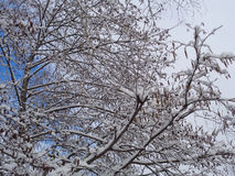 Winter tree branches covered with snow. Tree with catkins covered with snow Stock Photos