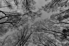 Winter Tree Canopy. Looking-up into a Canopy of Tall Trees in Winter Stock Photo