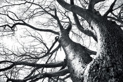 Winter tree conceptual image. Black and white photo of dead winter tree Royalty Free Stock Photos