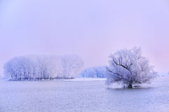 Winter tree covered with frost Royalty Free Stock Image