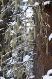 Winter tree covered with moss Stock Images