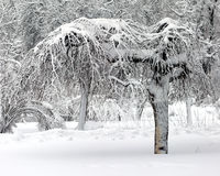 Winter tree Royalty Free Stock Images