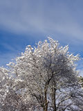 Winter tree covered with snow. Winter tree, branches under snow against blue sky with white clouds Stock Photography