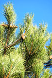 Winter tree decorated with pine cones. Winter tree decorated with pine cones, like toys against the clear blue winter sky Royalty Free Stock Photography