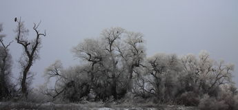Winter Tree Eagle Roost Royalty Free Stock Photography