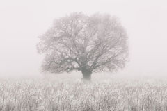 Winter tree in the fog Stock Image