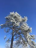 Winter tree with frost and blue sky Royalty Free Stock Photo
