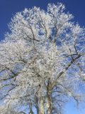 Winter tree with frost and blue sky Stock Image