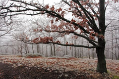 Winter tree. Winter frozen tree with mist at day royalty free stock image