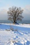 Winter tree by lake MIchigan Royalty Free Stock Photo