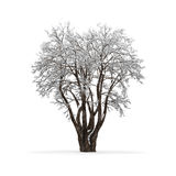 Winter tree without leaves Stock Photography