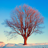 Winter tree in pink morning light Royalty Free Stock Images