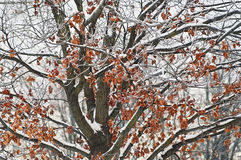 Winter Tree. Red leaves on a snow tree Stock Photography
