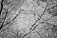 Winter tree scene. Tree branches covered with snow in December Royalty Free Stock Image