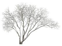 Winter tree on snow isolated Stock Image