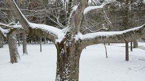 Winter tree and snow in park. Winter tree and snow in old park stock video footage