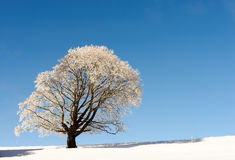 Winter tree in snow in winter Royalty Free Stock Photos