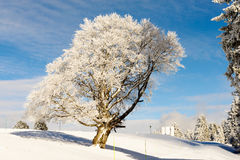 Winter tree in snow in winter Stock Photos