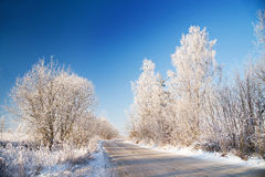 Winter tree, snowy and frosty. Cold Stock Images