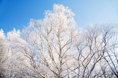 Winter tree, snowy and frosty. Cold Stock Photography