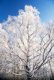 Winter tree, snowy and frosty. Cold Stock Image
