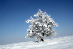 Winter tree. Solitar tree with snow on it Royalty Free Stock Photo