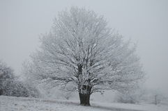 Winter tree. Still and silent oak tree covered in hoar frost in the depths of winter Stock Photography