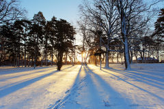 Winter tree with sun rays. In forest Royalty Free Stock Image