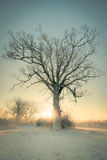 Winter Tree at Sunrise Royalty Free Stock Photography