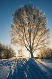 Winter tree at sunset. Winter landscape with trees at sunset. Photographed in Novgorod region, Russia Royalty Free Stock Photography