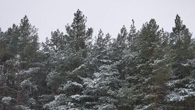 Winter tree tops in the snow winter forest nature landscape beautiful christmas tree background. Winter tree tops in the snow winter forest nature landscape stock footage