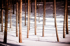 Winter Tree Trunks. Pine tree trunks in forets over winter snow Stock Photo