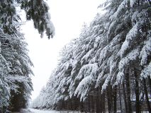 Winter Trees. Trees with branches bowed under the weight of new-fallen snow Stock Photo