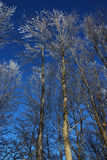 Winter trees. Trees in winter, covered with snow Stock Images