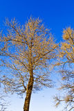 Winter trees. The trees under blue sky. Very beautiful Stock Image